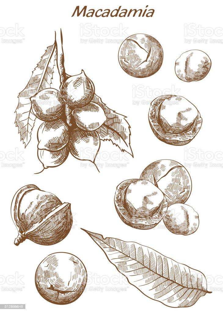 macadamia nut set of sketches vector art illustration