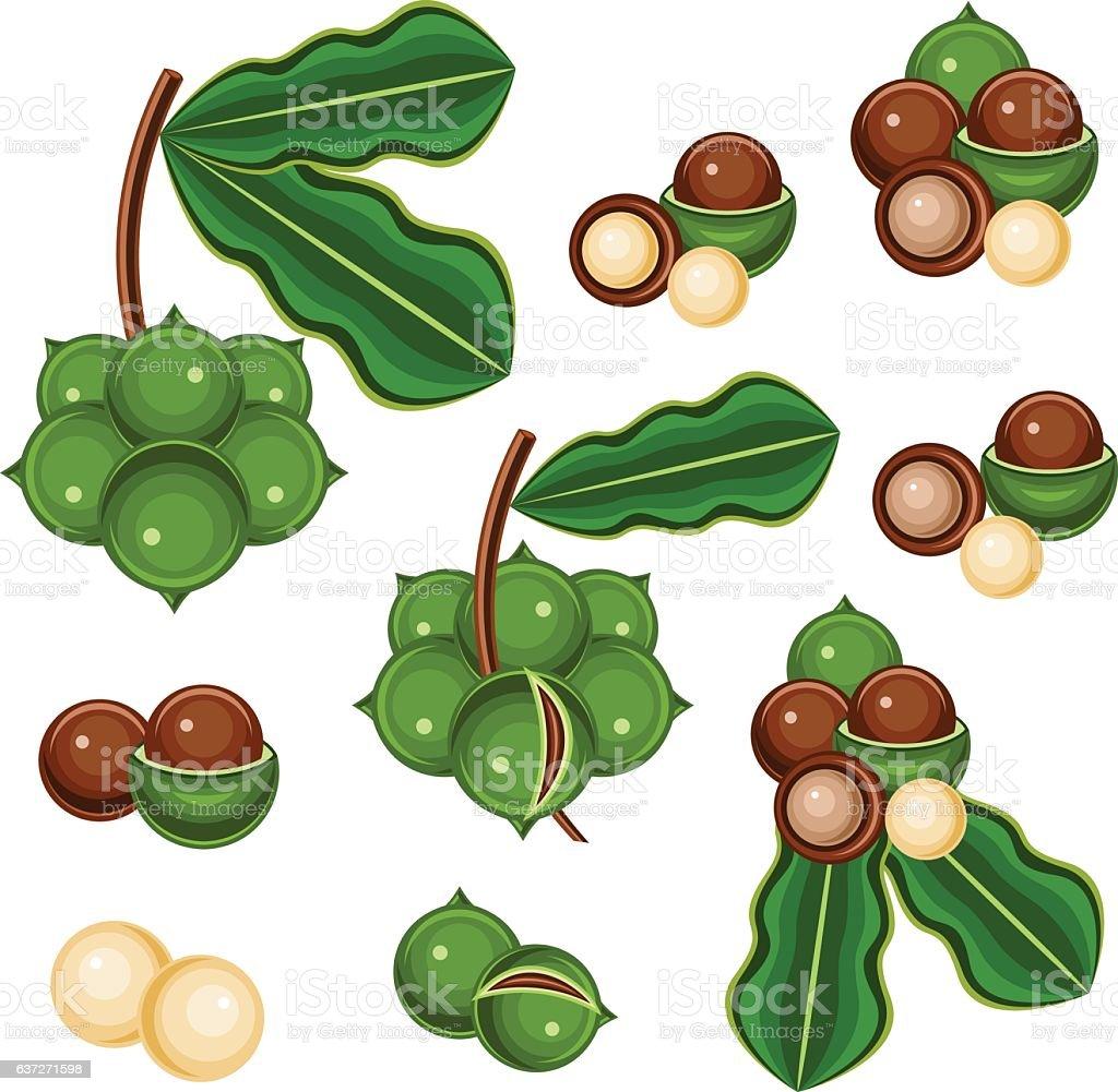 Macadamia nut vector art illustration