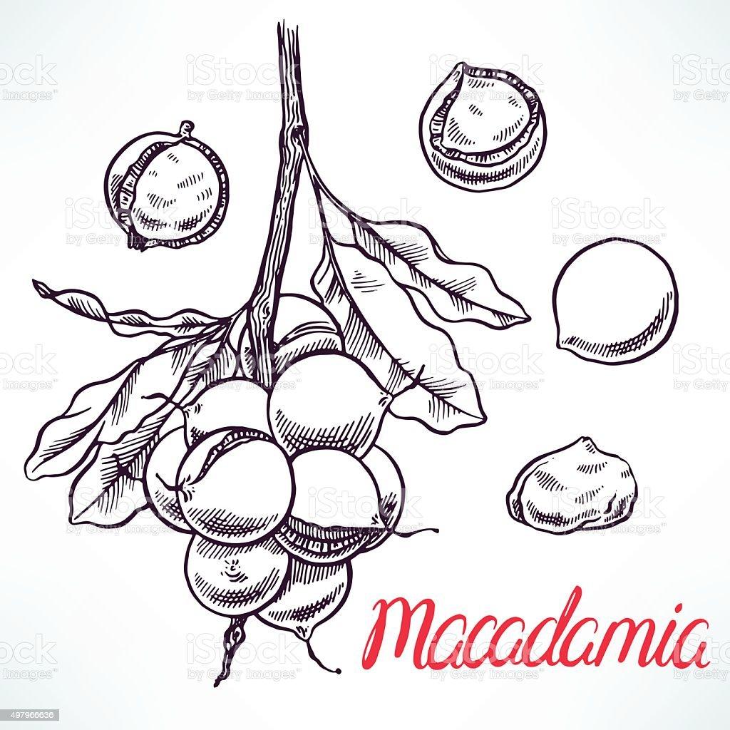 macadamia sketch tree branch vector art illustration