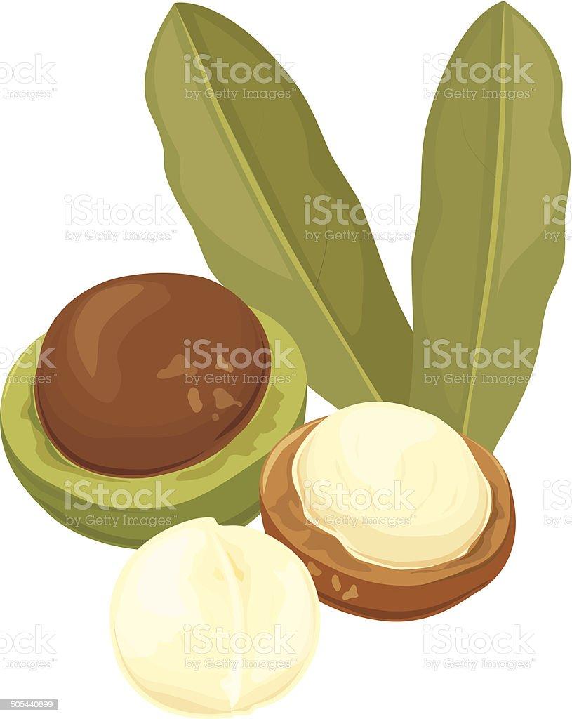 Macadamia, Vector Illustration vector art illustration