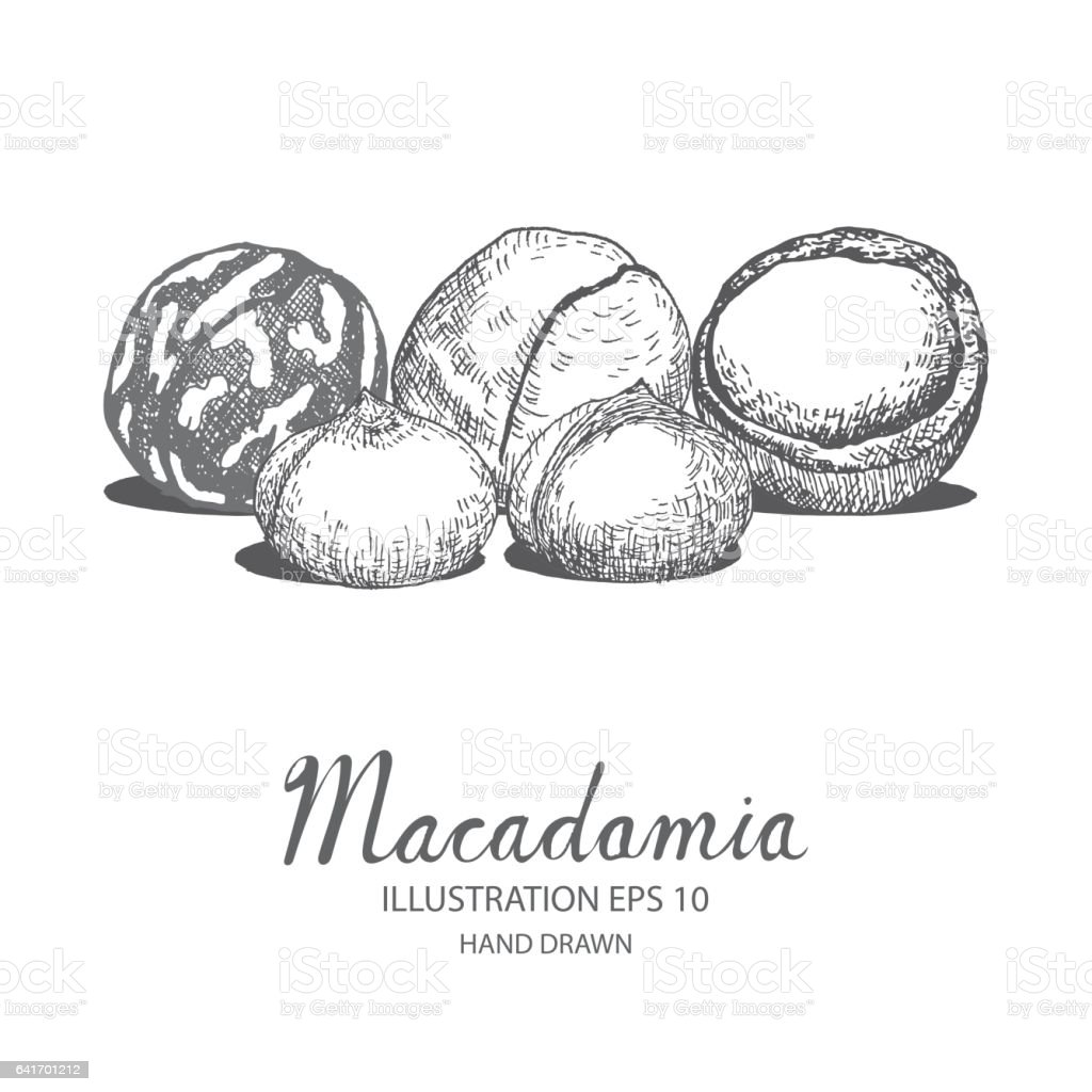 Macademia hand drawn illustration by ink and pen sketch. vector art illustration