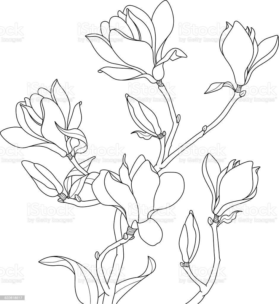 Magnolia blossoms drawing vector art illustration