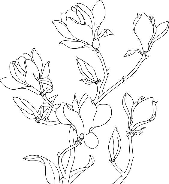 Magnolia Flower Line Drawing : Magnolia clip art vector images illustrations istock