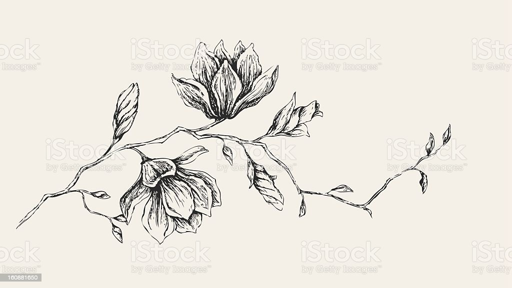 Magnolia Drawing vector art illustration