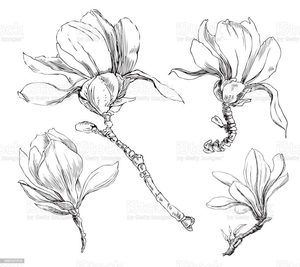 magnolia flowers vector art illustration