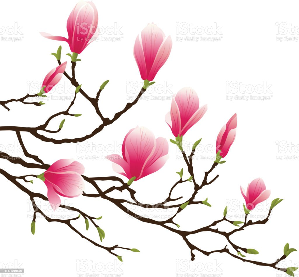 magnolia vector art illustration