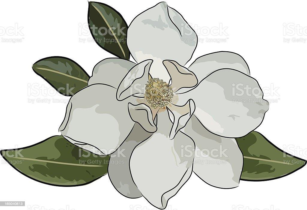 magnolia (vector) vector art illustration