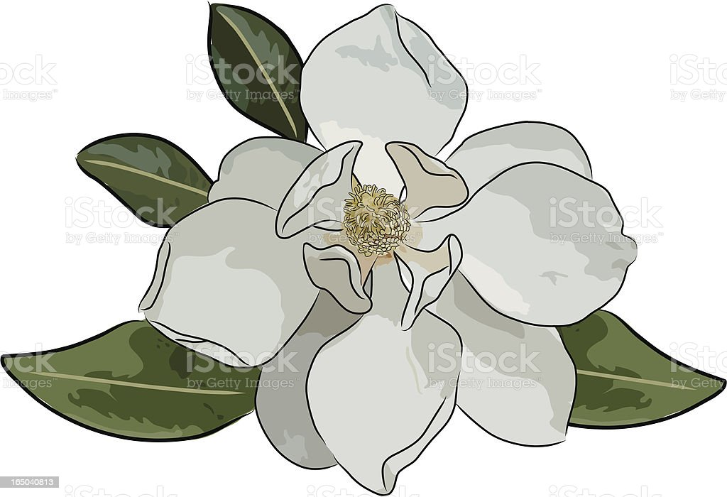 magnolia (vector) vector art illustration