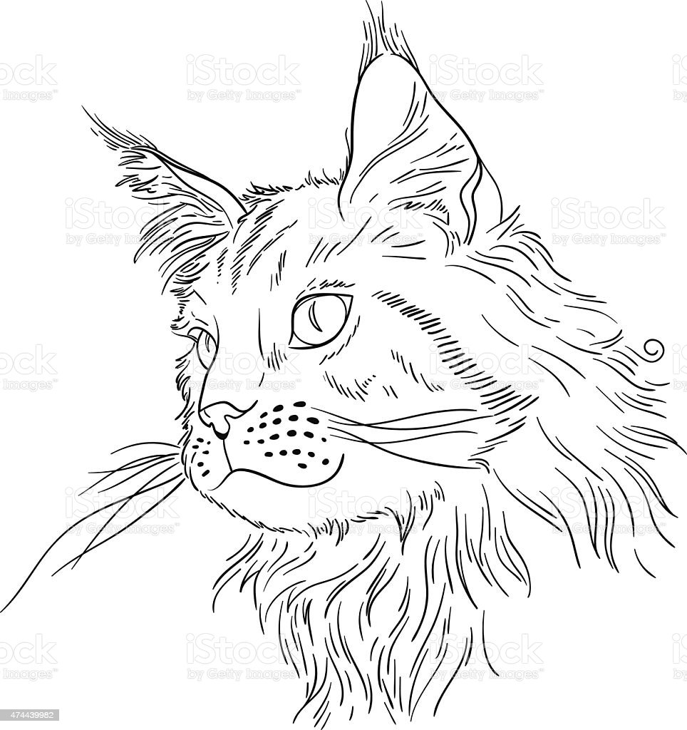 maine coon royalty free stock vector art