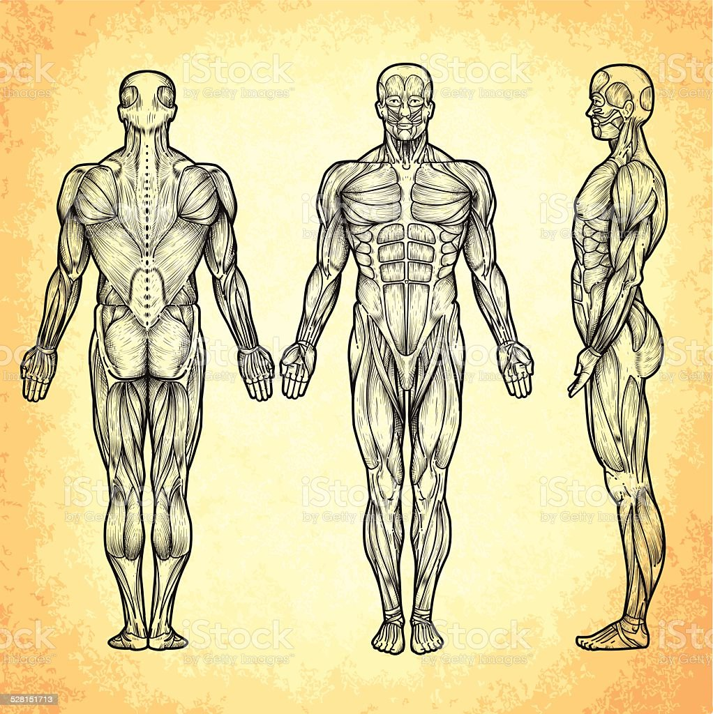 Male anatomy vector art illustration
