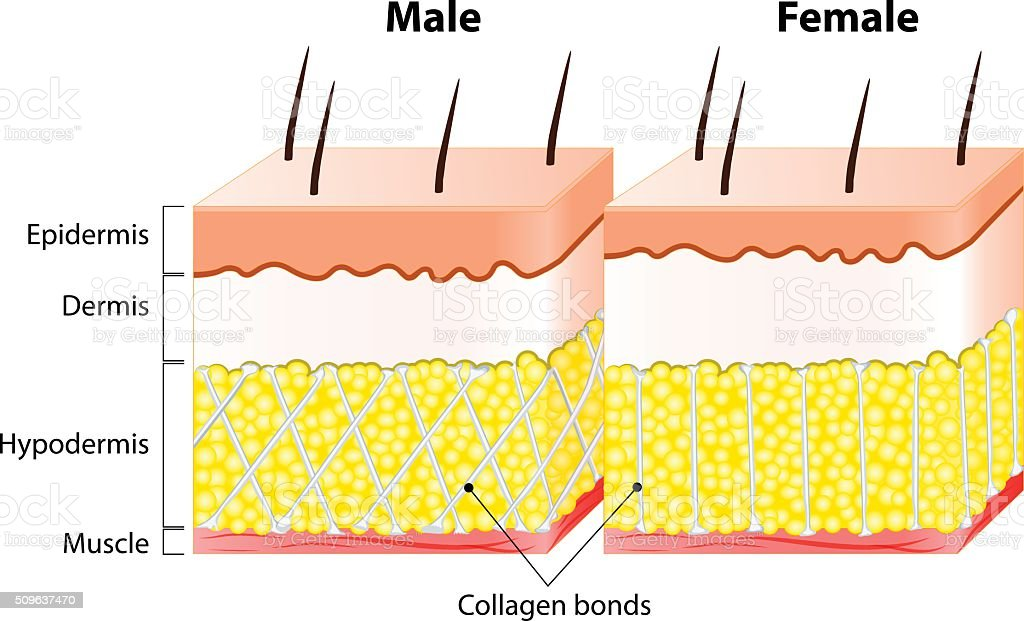 Male end female Skin. Structure and Different vector art illustration