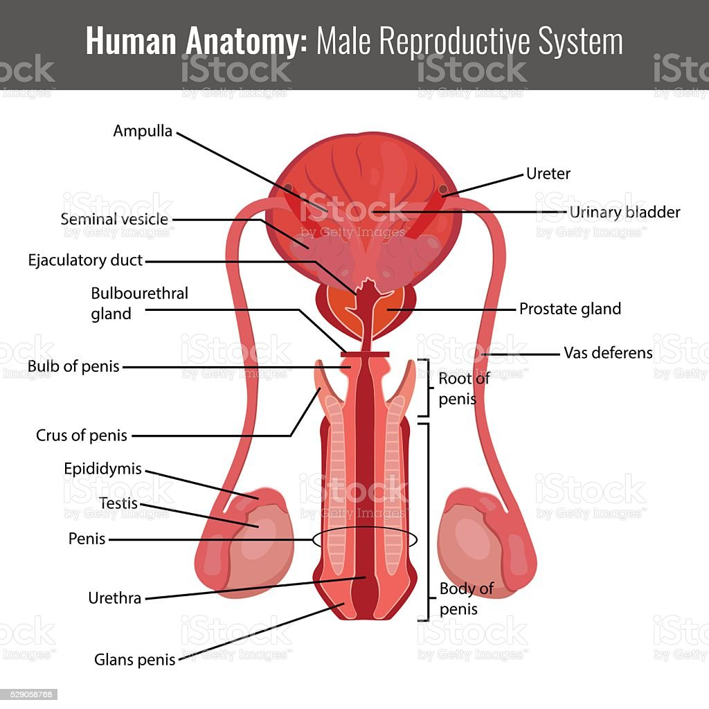 Male reproductive system detailed anatomy. Vector Medical vector art illustration