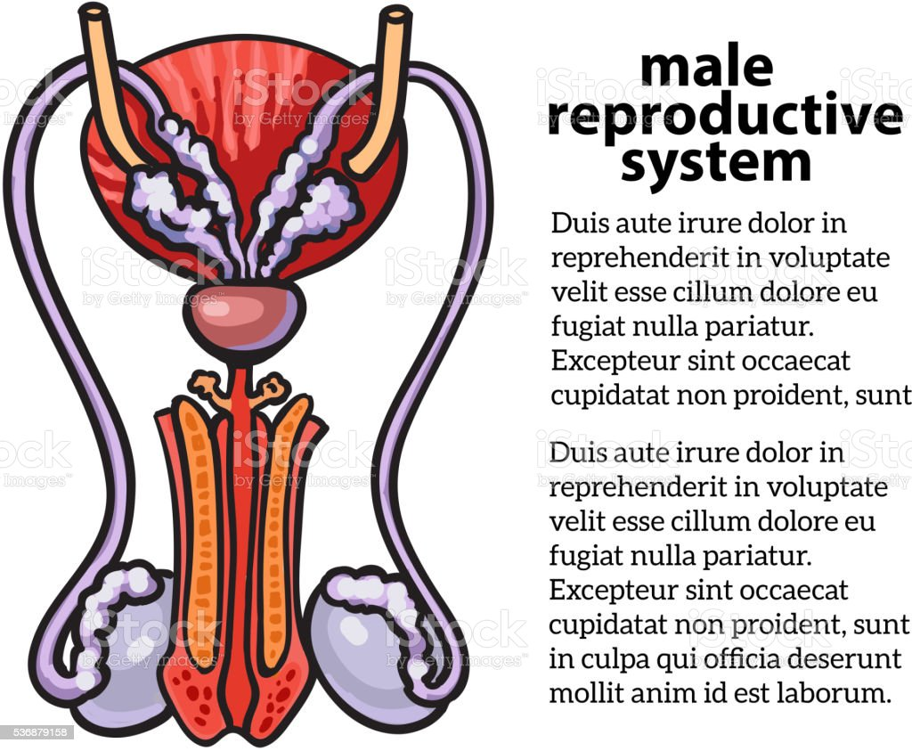 Male reproductive system vector art illustration