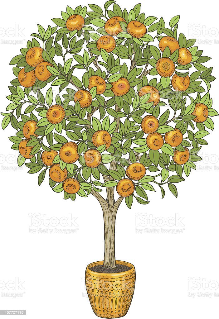 Mandarin tree, hand drawn color illustration. royalty-free stock vector art