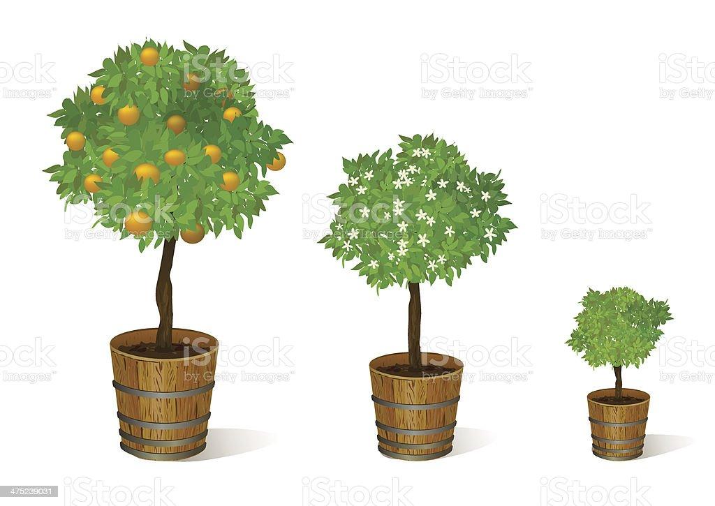 mandarin tree in a pot royalty-free stock vector art