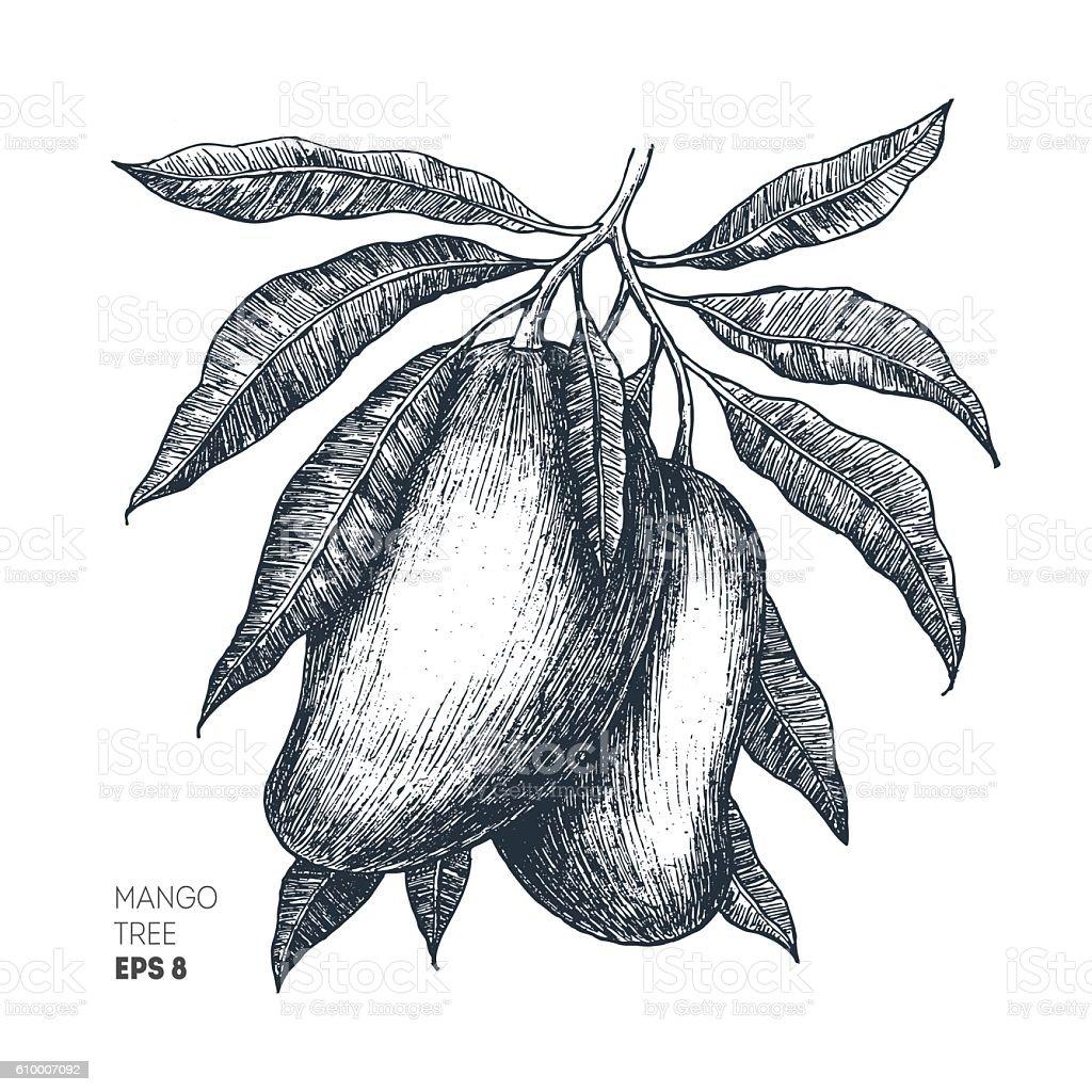 Mango tree vintage illustration. Botanical mango fruit illustration. Engraved mango. vector art illustration