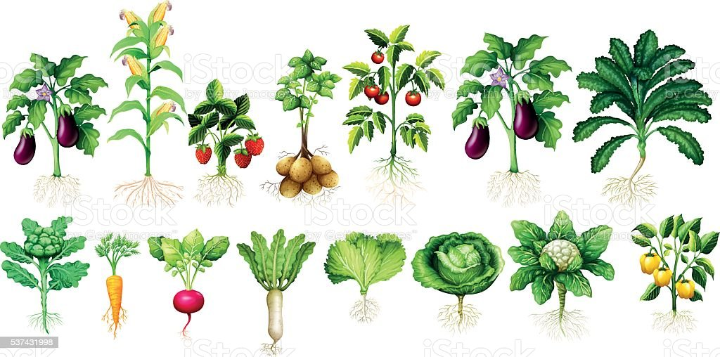 Many kind of vegetables with leaves and roots vector art illustration
