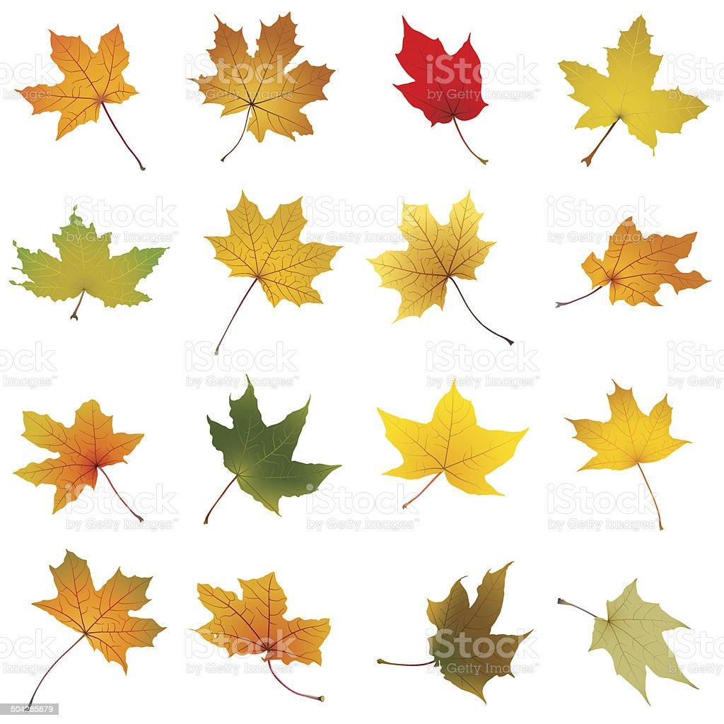 Maple autumn leaves collection vector art illustration