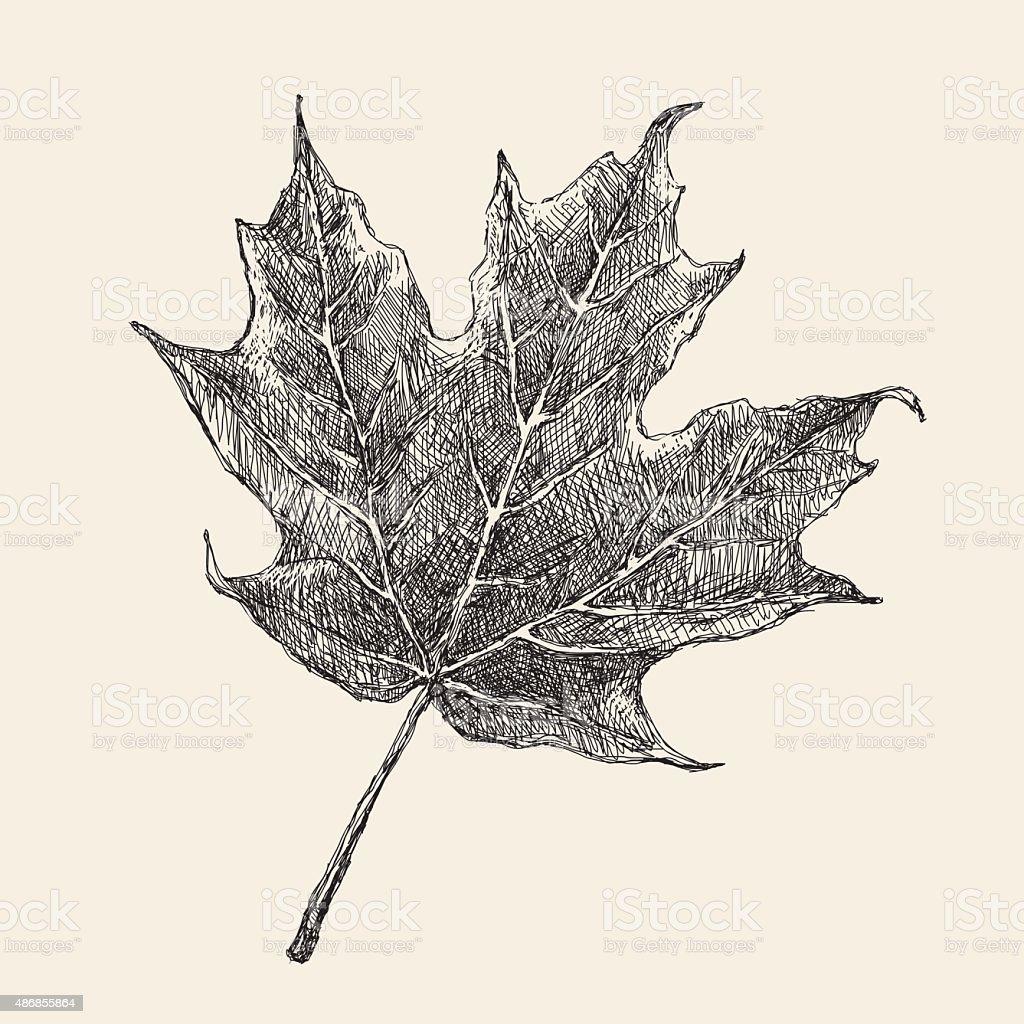 Maple Leaf Drawing vector art illustration