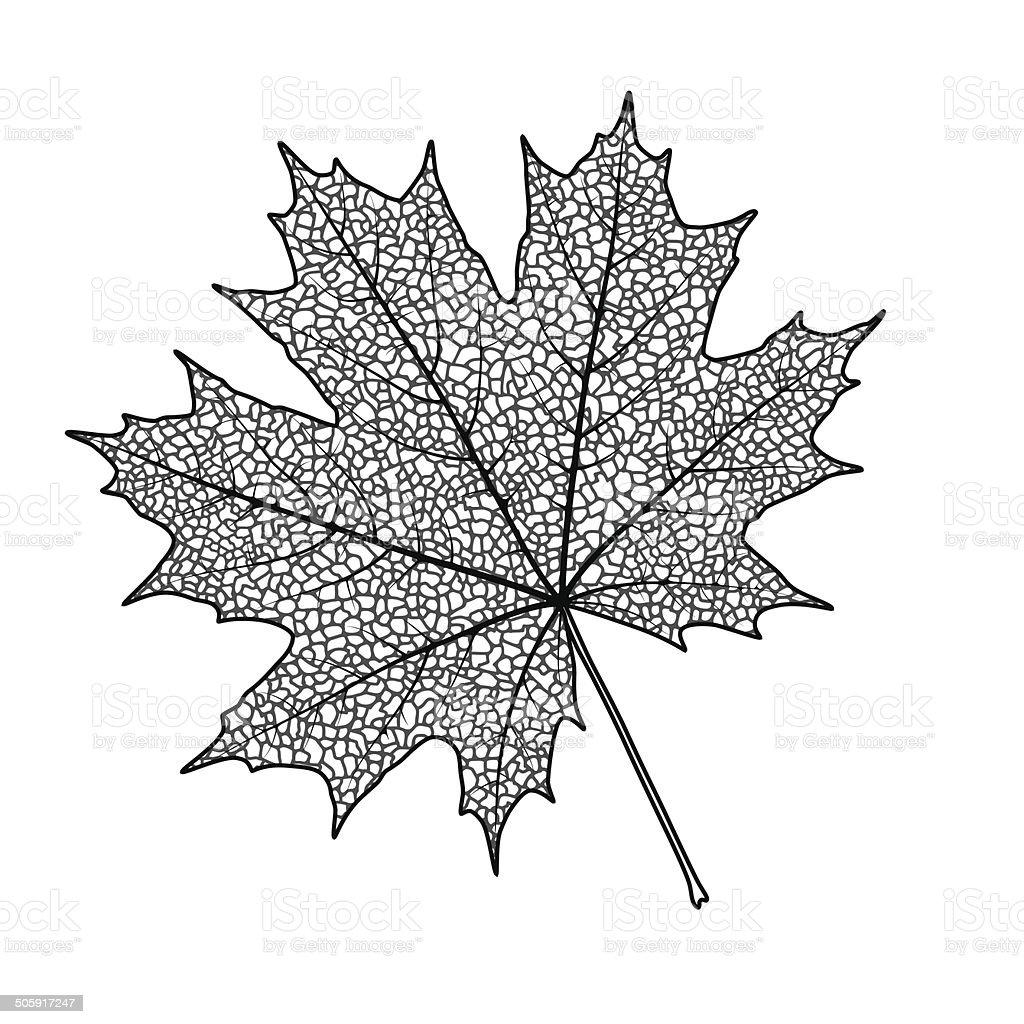 Maple leaf vector art illustration