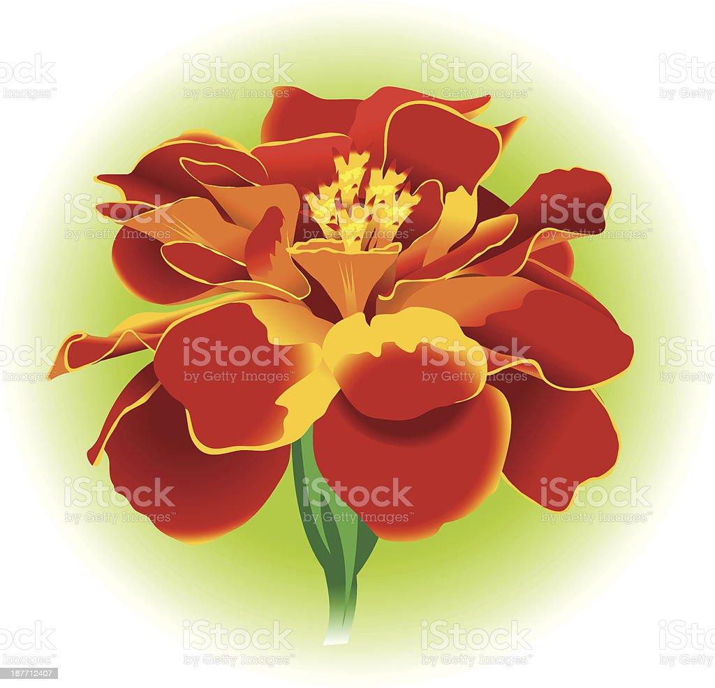 marigold royalty-free stock vector art