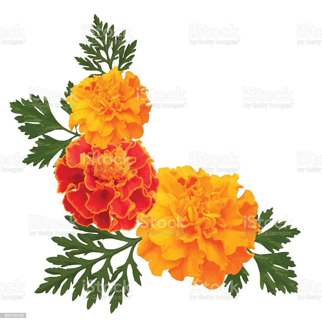 marigolds on white vector art illustration