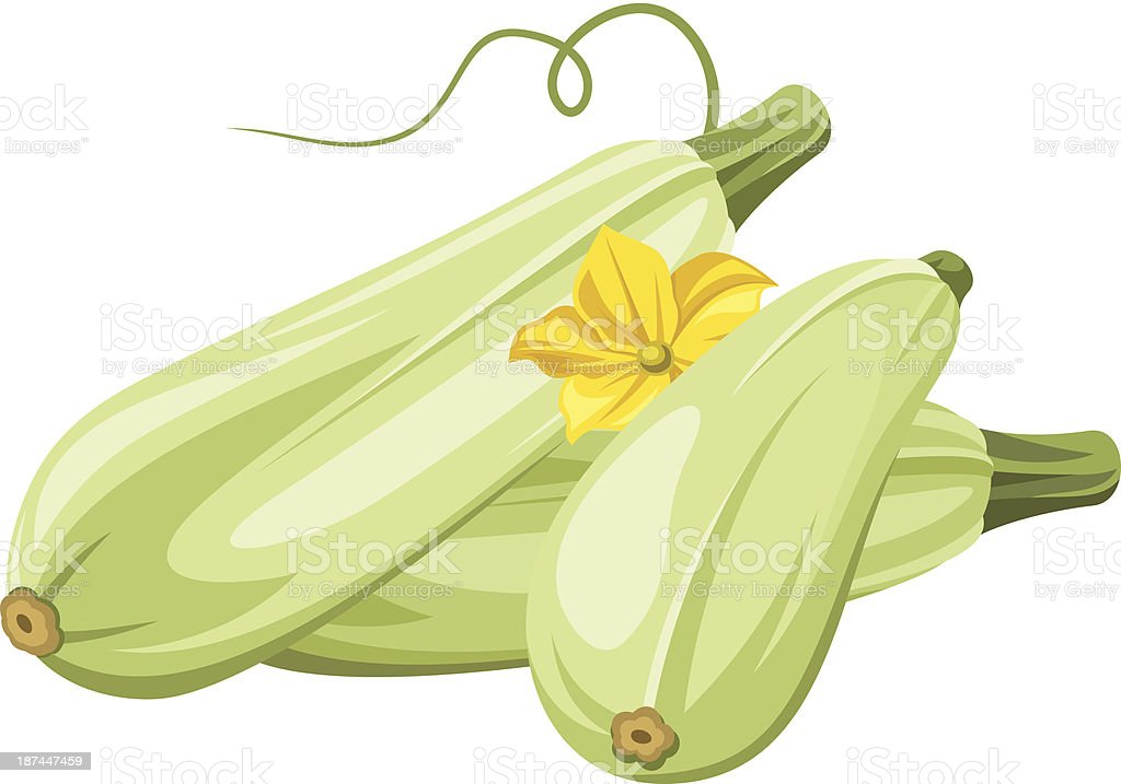 Marrow vegetables. Vector illustration. vector art illustration