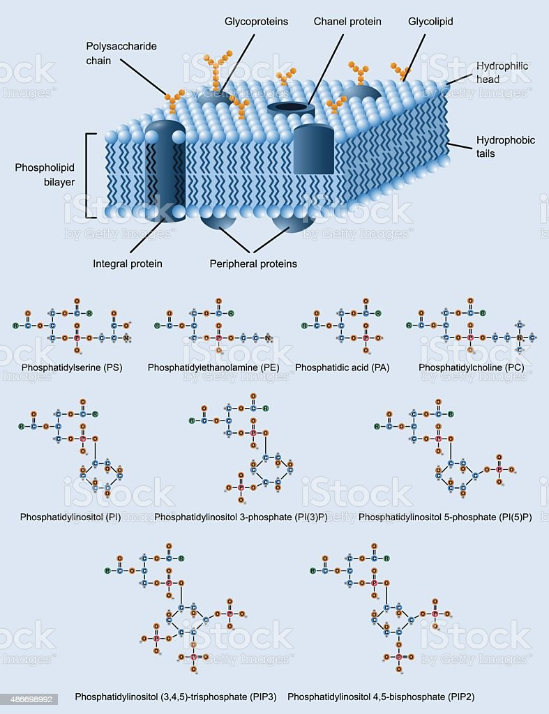 membrane structure vector art illustration