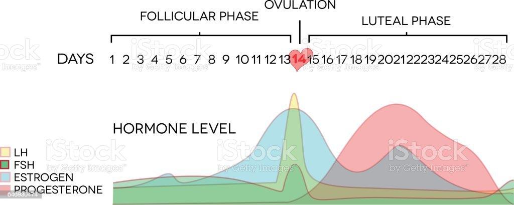Menstrual cycle hormone level vector art illustration