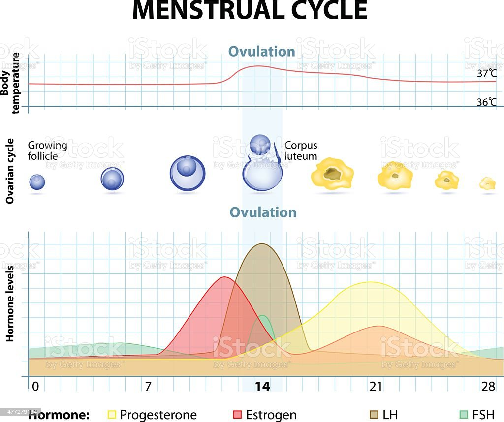 Menstrual cycle vector art illustration