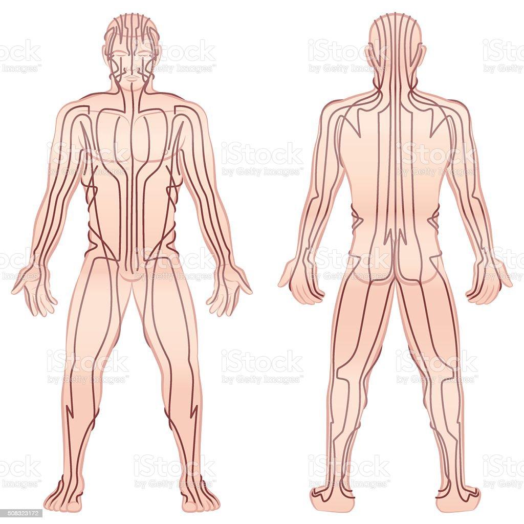 Meridians Male Body TCM vector art illustration