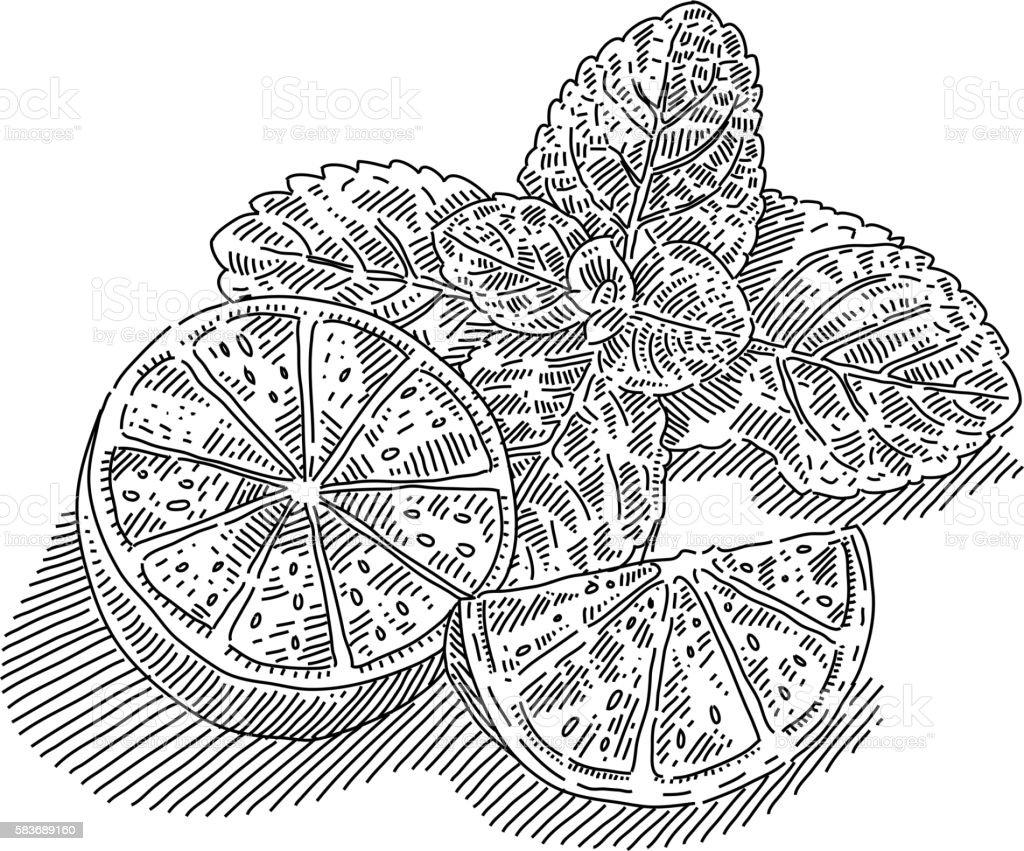 Mint and lemon slices  Drawing vector art illustration