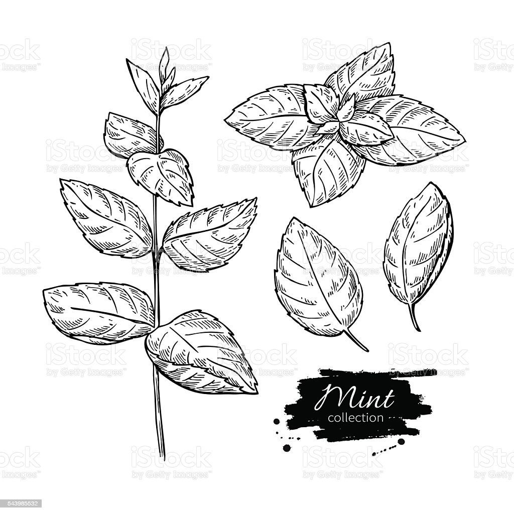Mint vector drawing set. Isolated mint plant and leaves. Herbal vector art illustration