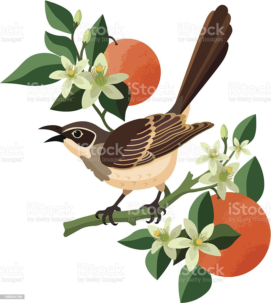 mockingbird and orange blossom vector art illustration