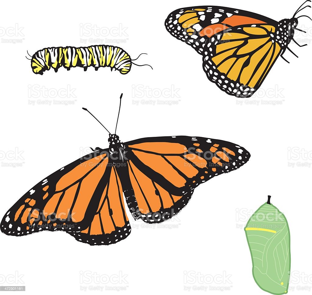 Monarch Butterfly in Stages vector art illustration