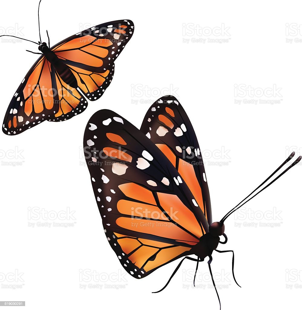 Monarch Butterfly Isolated On White - Vector vector art illustration