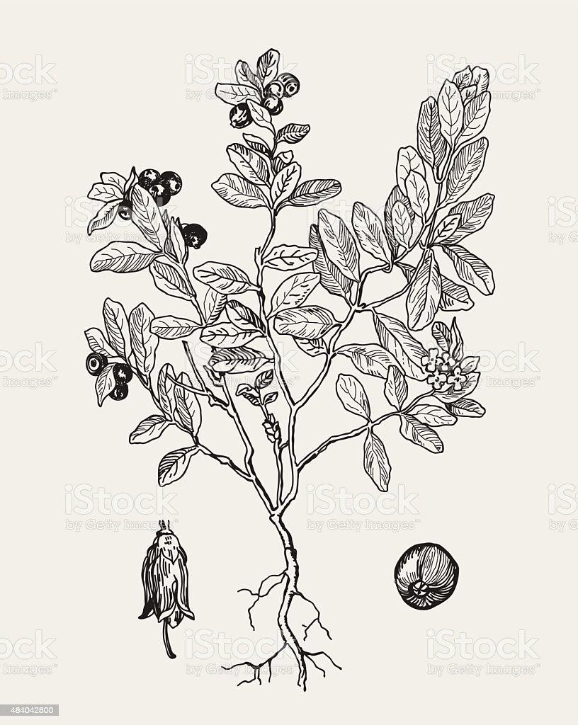 More realistic botanical illustration cranberries. Graphic illustration for your design. vector art illustration