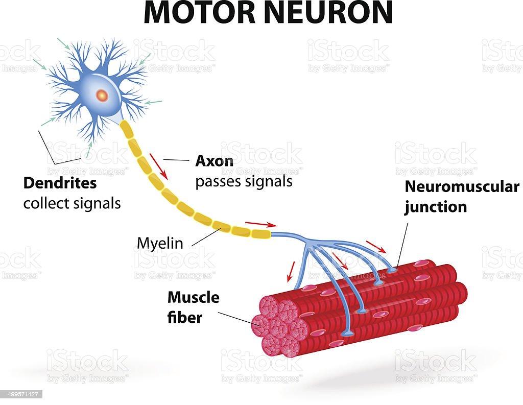 Motor neuron. Vector diagram vector art illustration