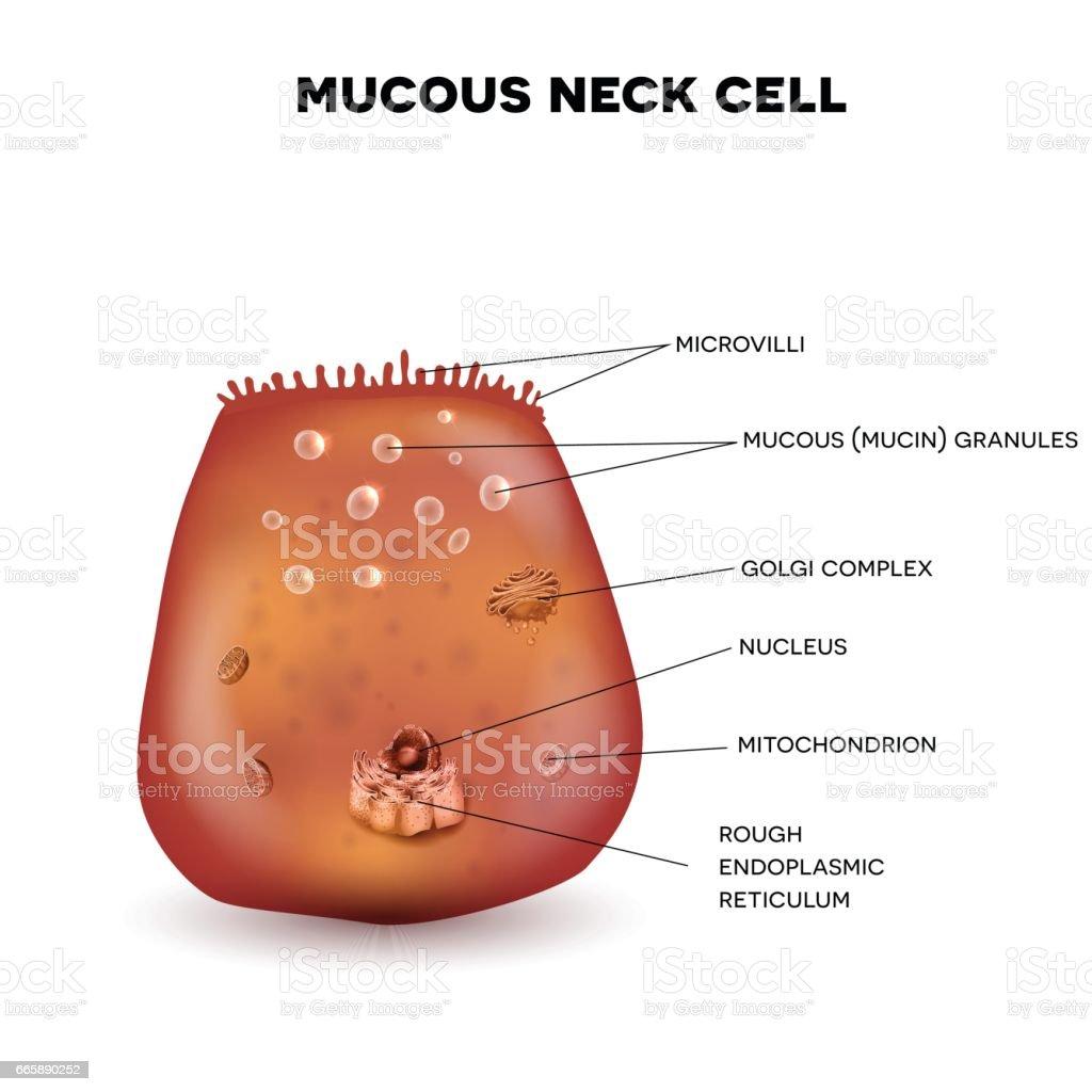 Mucous neck cell vector art illustration