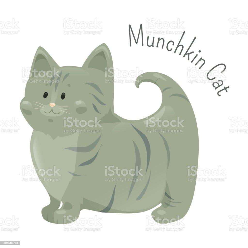 Munchkin cat isolated. Very short legs type vector art illustration