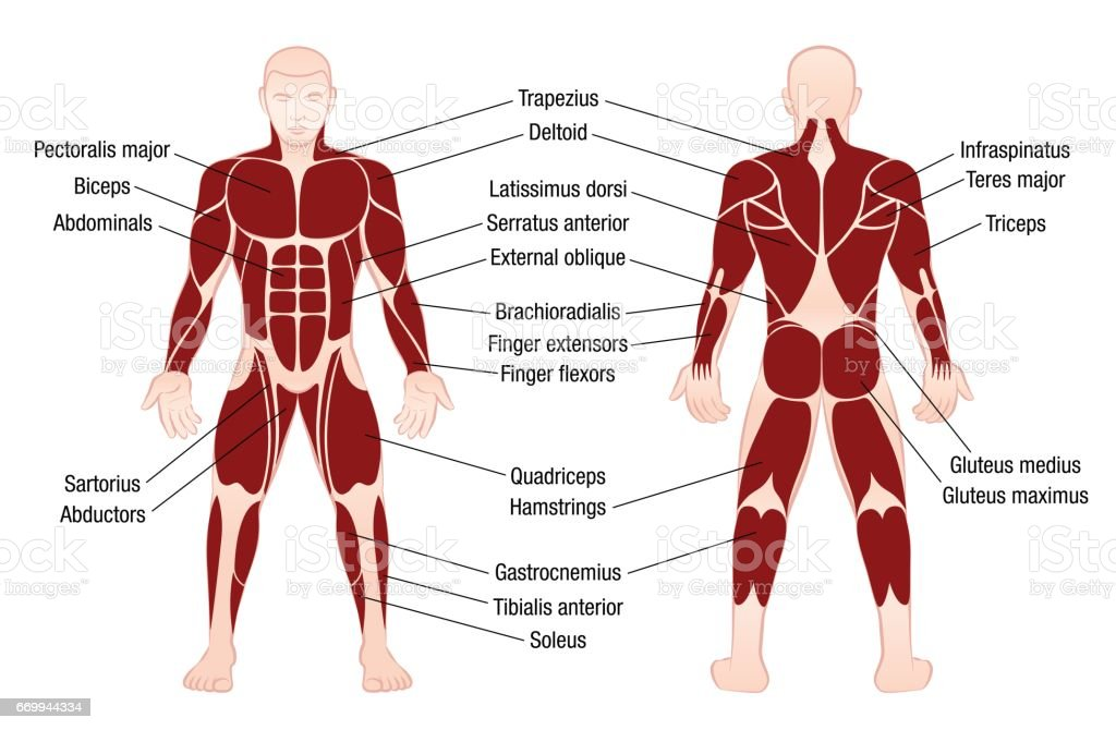 muscle chart with accurate description of the most important, Muscles