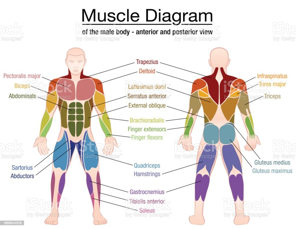 muscle diagram most important muscles of an athletic male body, Muscles