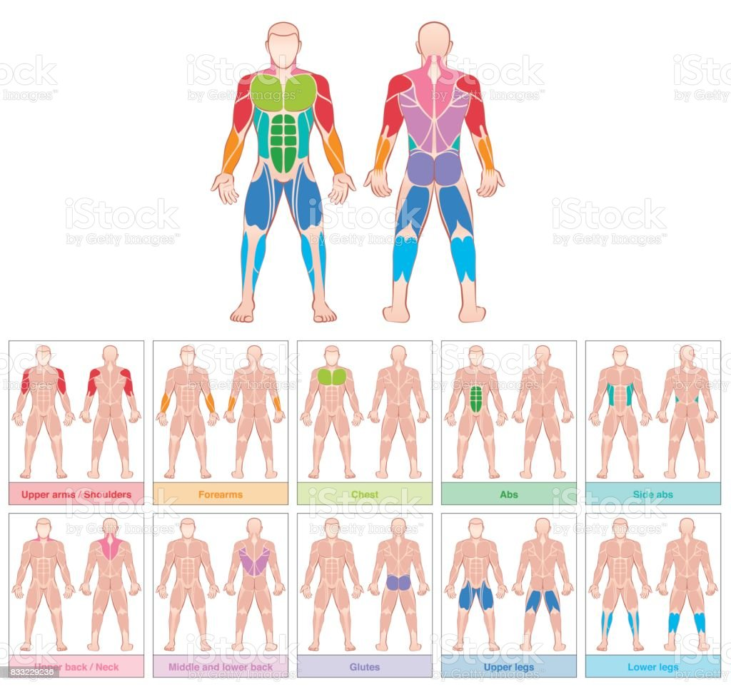 Muscle groups - chart with largest human muscles - ten colored labeled cards - isolated vector illustration on white background. vector art illustration