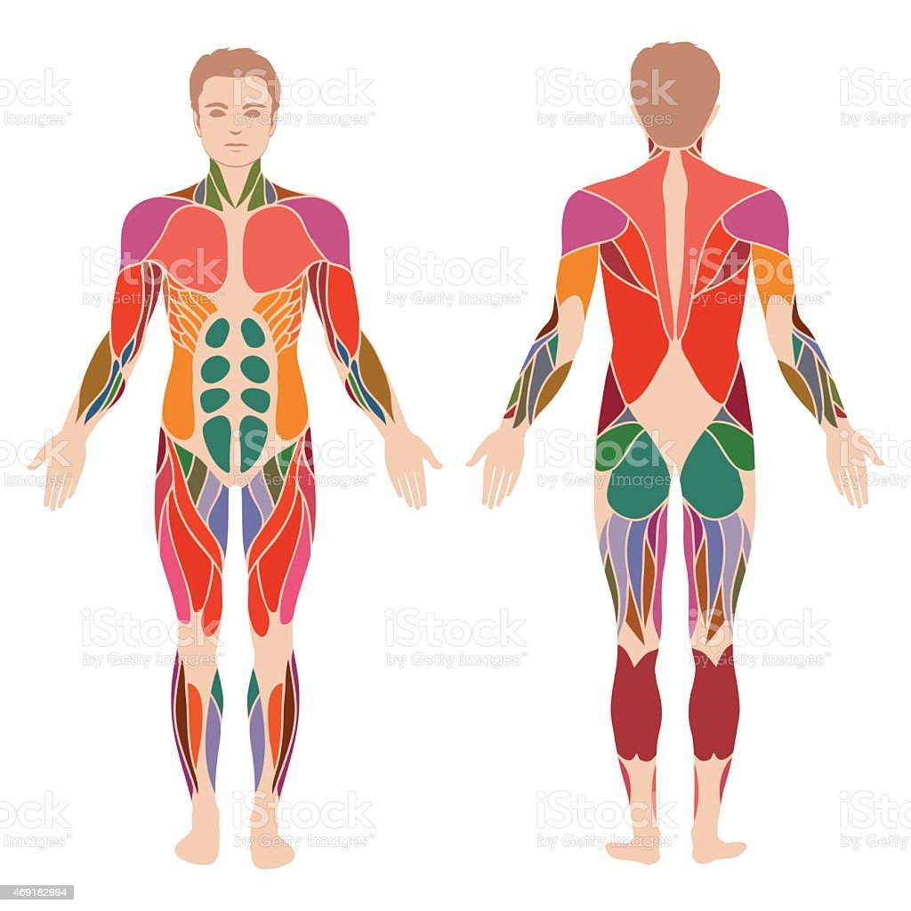 muscle man anatomy, vector art illustration