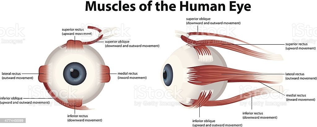 Muscles of the Human Eye vector art illustration