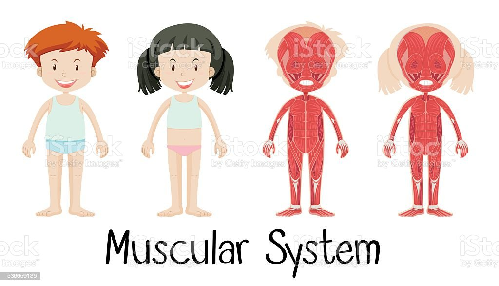 Muscular system of boy and girl vector art illustration