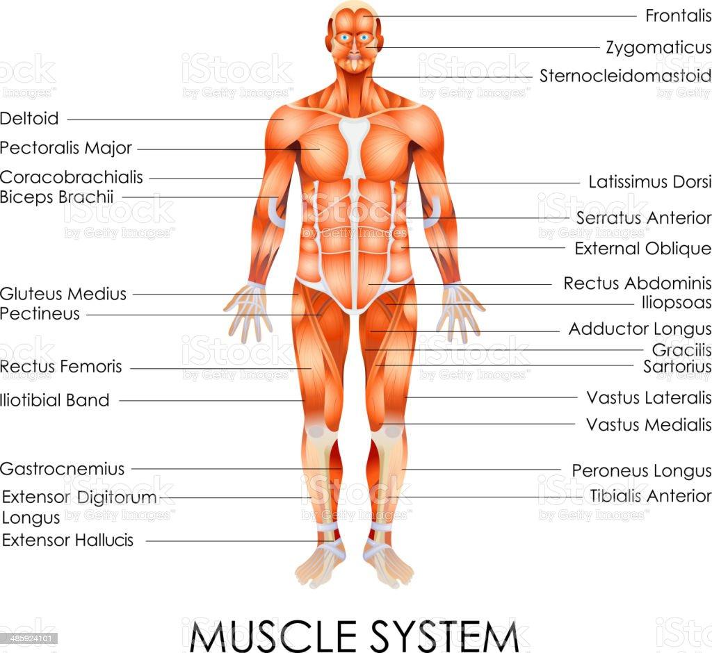 Muscular System vector art illustration