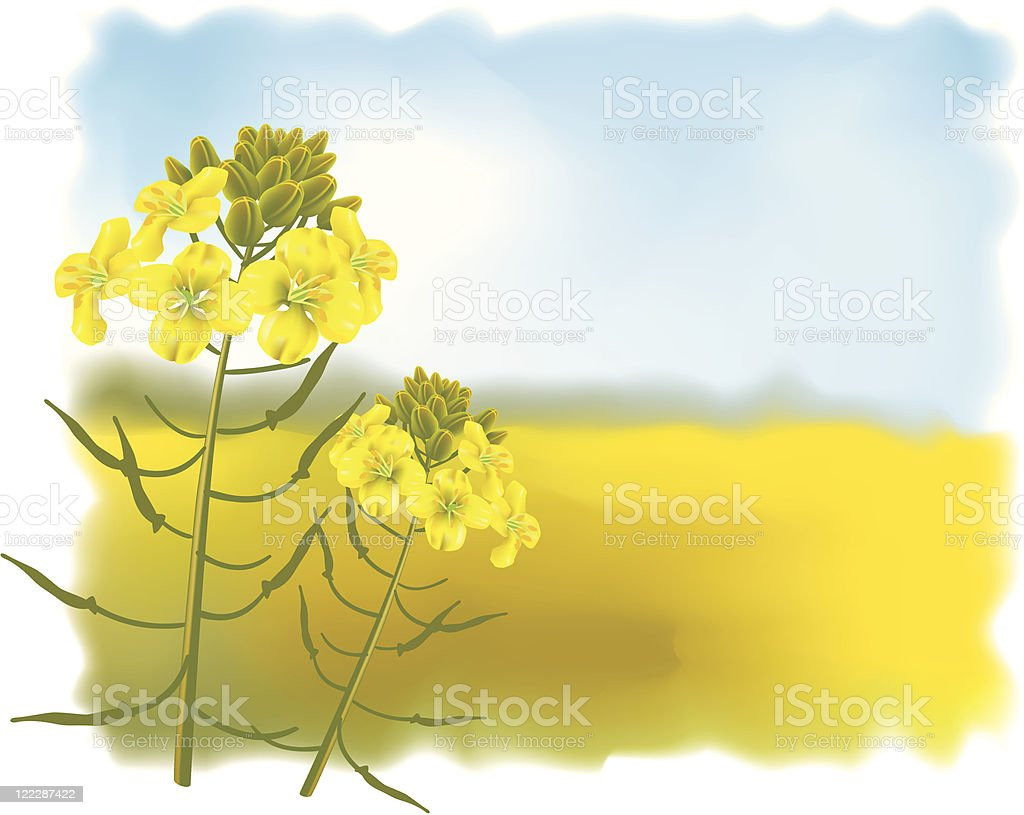Mustard flowers with Field. vector art illustration