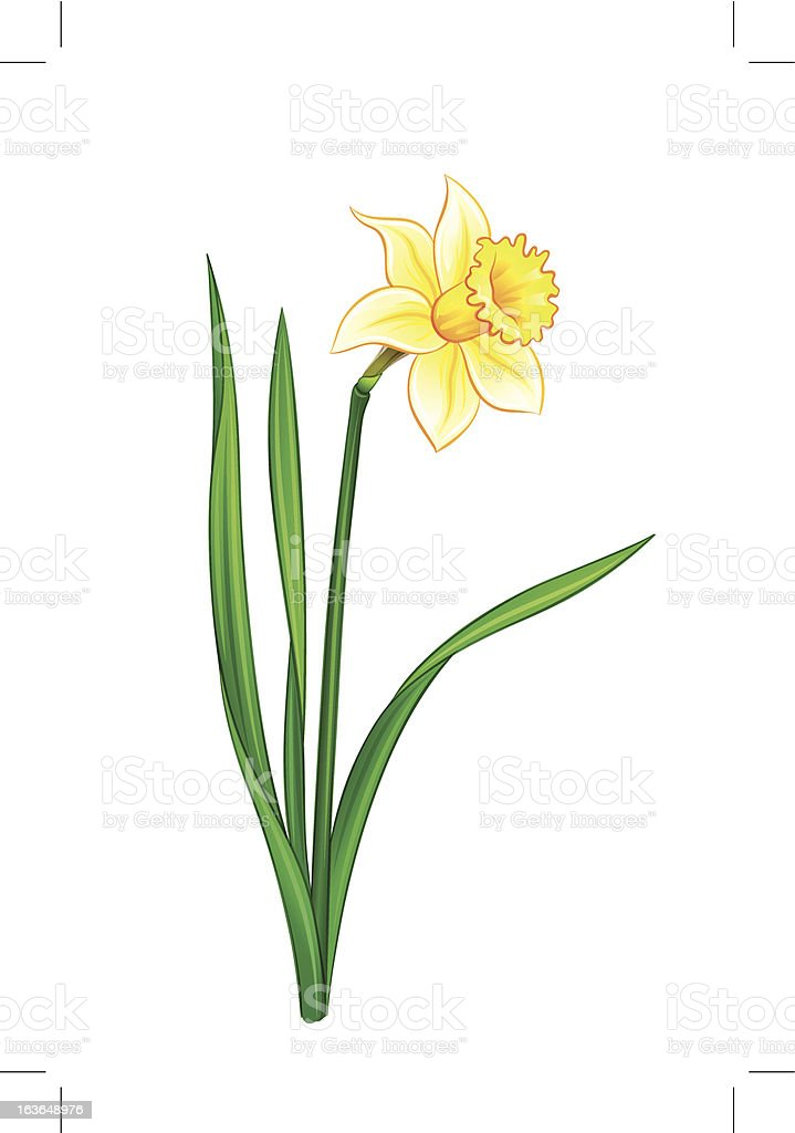 Narcissus - eps10 vector illustration royalty-free stock vector art