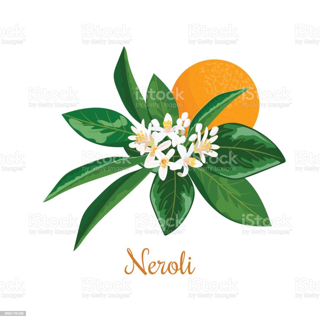 Neroli. bitter orange tree, twig, flowers and fruit vector art illustration